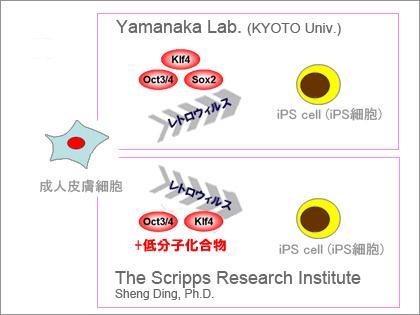 iPS細胞作製に代替化合物:米スクリプス研究所のシェン・ディン准教授